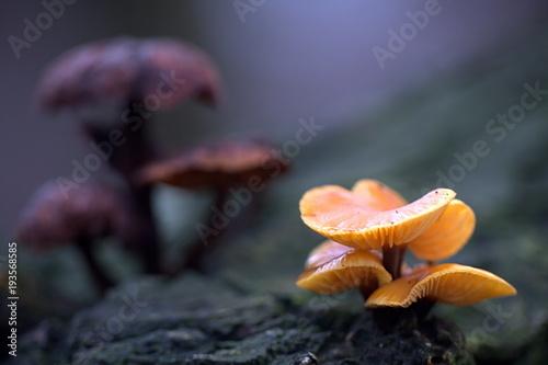 Fotografie, Obraz  Wild enokitake, Flammulina velutipes, delicious edible mushroom