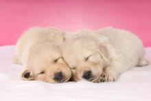 Zwei Schlafende Golden Retriev...