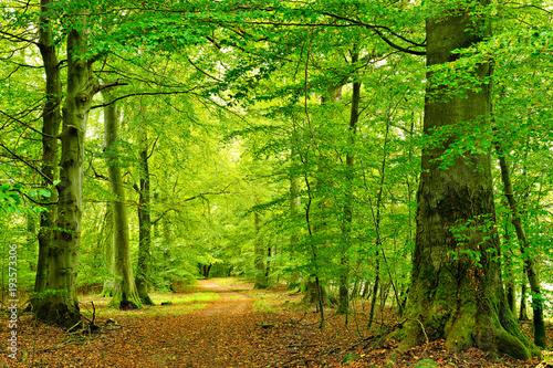 Fototapeta premium Szlak przez naturalny las bukowy, wielkie stare drzewa, Park Narodowy Müritz