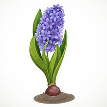 Blue Hyacinth Grows From A Bul...