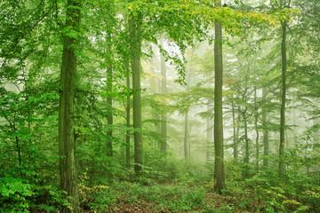 Fototapeta Do biura Naturnaher Buchenwald im Nebel, dichtes Unterholz