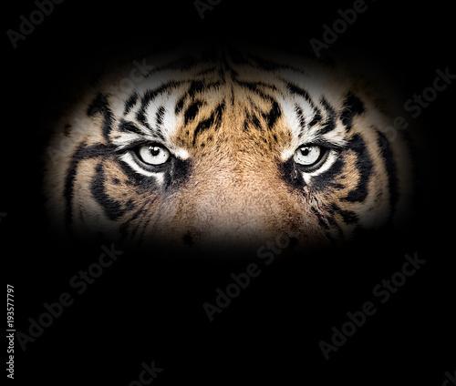 Foto auf AluDibond Tiger Eyes of the tiger