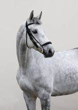 Portrait Of Grey Horse With Bridle Look Back Isolated On Light Background