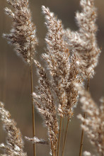 Delicate Reeds Bathed In The L...