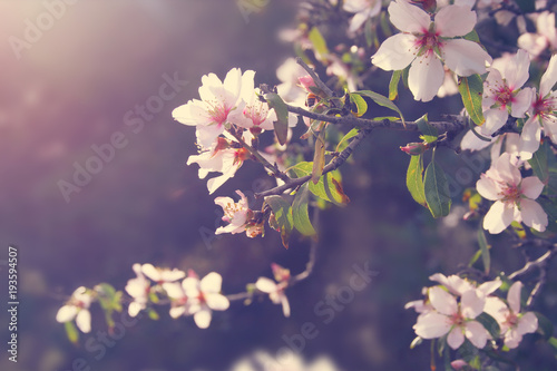 background of spring white cherry blossoms tree. selective focus.