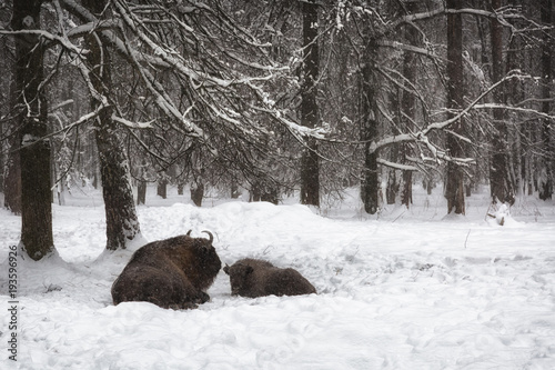 Aluminium Prints Bison Two bison in a snow-covered winter forest