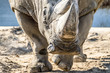 canvas print picture - Head portrait of Rhino on the sand