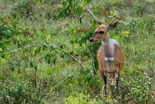 Schirrantilope In Den Shimba H...