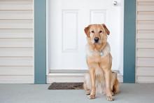 Golden Retriever At Front Door