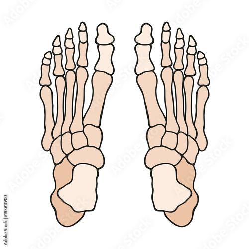 Photo  Anatomia