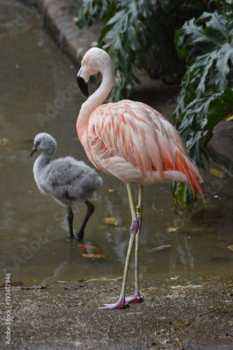 Foto op Aluminium Flamingo Beatiful pink flamingo stanging with a baby flamingo