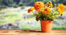 Calendula On Wooden Table, Blur Nature Background, Copy Space, Banner