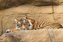 Resting Tiger At London Zoo.