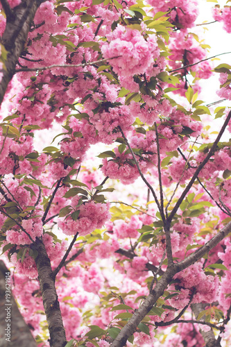 Foto op Plexiglas Magnolia Cherry pink blossoms close up; blooming pink cherry tree with sunshine coming through branches; Spring floral background