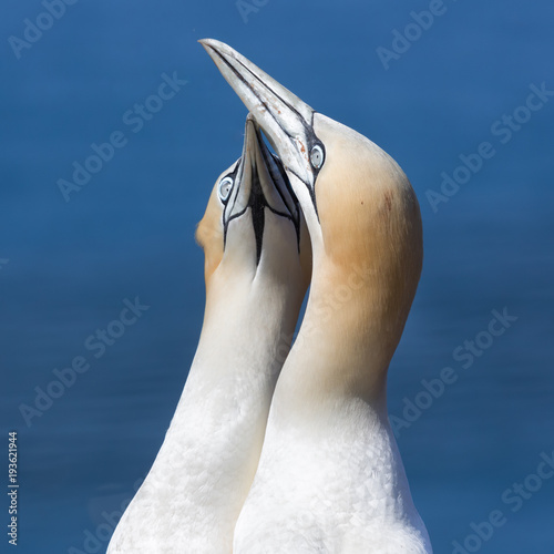 Mating Northern gannets in breeding colony at cliffs of Helgoland island, German Poster