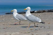 Herring Gulls At Beach Of Germ...
