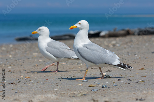 Herring gulls at beach of German island Dune near Helgoland in the Northsea