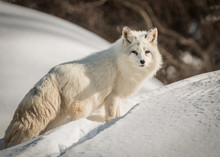 Arctic Fox - Vulpes Lagopus - ...