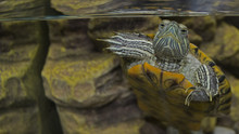 Red Eared Slider Turtle In Aqu...