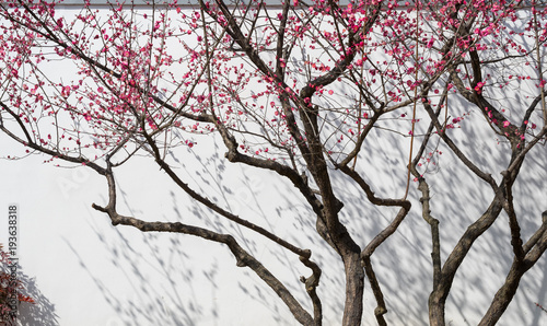 plum blossom trees and shadow on white wall
