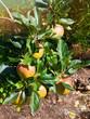 Knackig rot-gelbe Äpfel am Baum