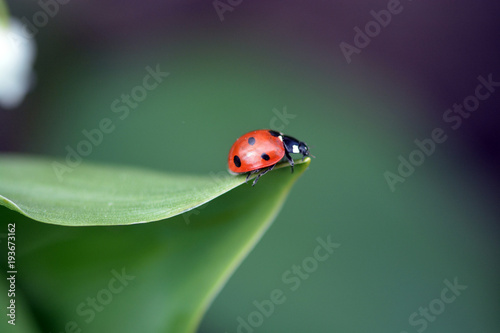 Photo  a ladybird sits on a green lily of the valley leaf