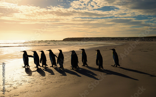 Group of King penguins walking towards the ocean on a sandy beach