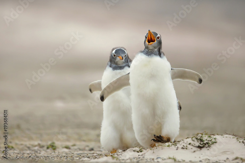 Gentoo penguin chick chasing its sibling on a sandy coast, Falkland islands.