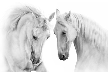 Fototapeta Couple of white horse on white background