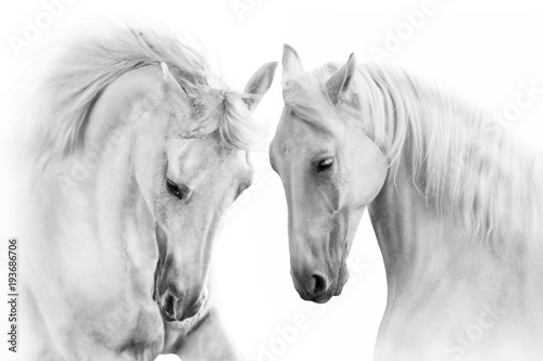 Foto op Canvas Paarden Couple of white horse on white background