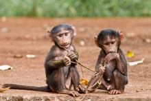 Two Baby Baboons Playing With ...