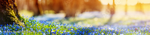 Poster Lente Panoramic view to spring flowers in the park. Scilla blossom on beautiful morning with sunlight in the forest in april
