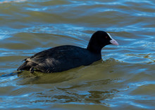 Coot, Water Bird, Swimming In ...