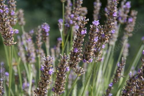 Foto op Aluminium Lavendel lavande2