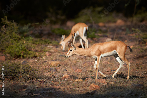 Chinkara, Gazella bennettii, also known as the Indian gazelle