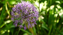 Allium Purple Flowers Close Up...