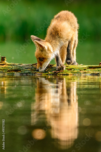 Red fox in the woods(Vulpes...