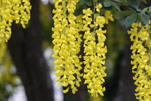Cassia Fistula Flower, The Scented Yellow Flowers With The Five Leaves