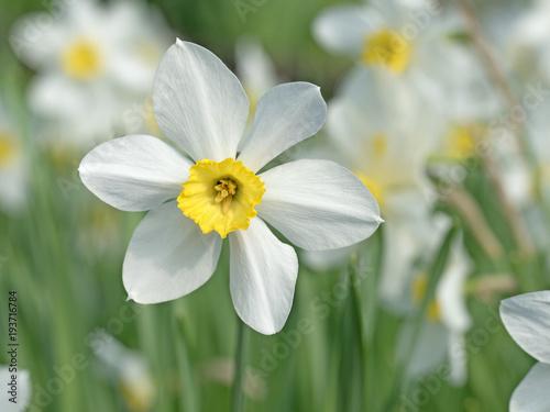 Narzissen, Narcissus Canvas Print