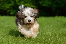 Playful Havanese Puppy Dog Is ...