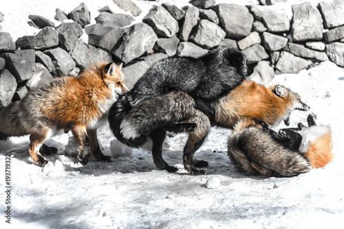 Valokuva  fox mating in winter season