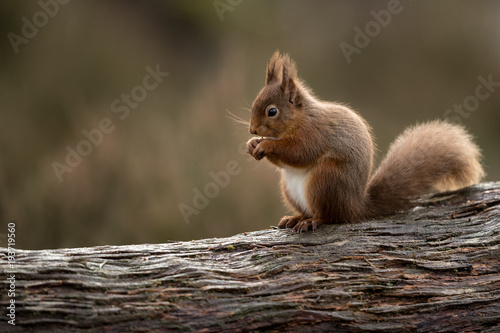 Red squirrel perched on a side on eating a hazelnut with muted green and brown background Wallpaper Mural