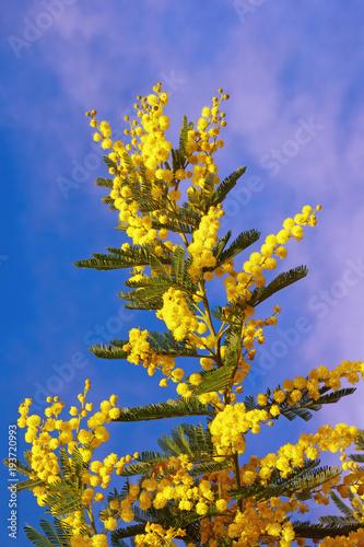 Springtime yellow flowers of acacia dealbata mimosa against blue yellow flowers of acacia dealbata mimosa against blue sky mightylinksfo