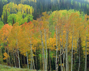 Fototapeta Brzoza Fall aspens in the Utah mountains, USA.