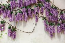 Cascading Purple Wisteria Blos...