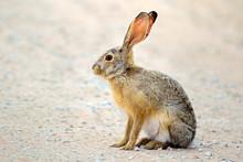 An Alert Scrub Hare (Lepus Sax...