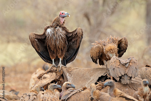 Photo Lappet-faced and white-backed vultures scavenging on a dead elephant, Kruger National Park, South Africa