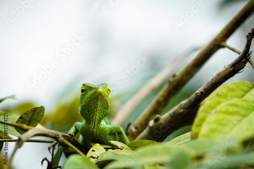 Aluminium Prints Chameleon Sägerückenagame grün, mit weißen Hintergrund