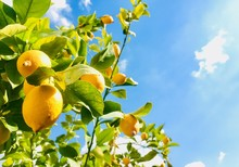 Yellow Lemons On Blue Sky