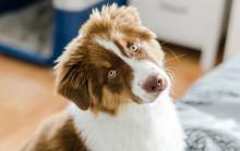 Curious Puppy Of Australian Sh...